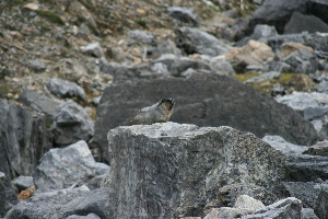 marmot,  easier to see.