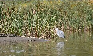 1st heron again, different angle